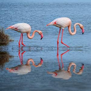 Flamingo double.jpg