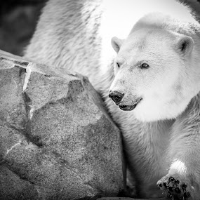 Polar Express by Andrew Christmann - Black & White Animals ( bear, polar bear, mammal, animal )