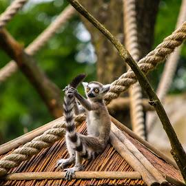 Lemur by Piotr Kaczmarek - Animals Other ( zoo, funny, lemur, tail, animal )