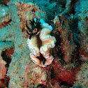 Dark Margin Glossodoris