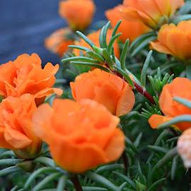 Orange Garden  by Michele Kelley - Novices Only Flowers & Plants ( orange, flower garden, nature, flowers, garden )
