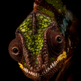 Chameleon by Dawn Cotterell - Animals Reptiles ( colour, macro, detail, colourful, chameleon )