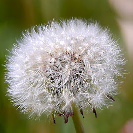 Dandelions End of life by Paul Drajem - Nature Up Close Other plants ( plant, macro photography, furry, weed, white, close-up, macro, fluffy, dandelion, guard, seeds, weeds, flower )