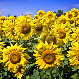 Sunflowers by Alessandro Calzolaro - Flowers Flowers in the Wild ( nature, sunflowers, sun )