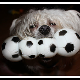 Play ball  by Leanna Leger - Animals - Dogs Playing ( play, portraits, dog )