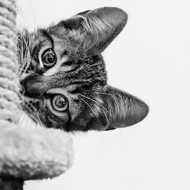 HALLO by Irene Vallerotonda - Animals - Cats Kittens ( sguardo, occhi, gatto, bianco e nero, gioco )