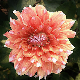 Dahlia by Kamal Mallick - Instagram & Mobile Android ( flower show, flower nature, flower photo, flower closeup, flower photography )