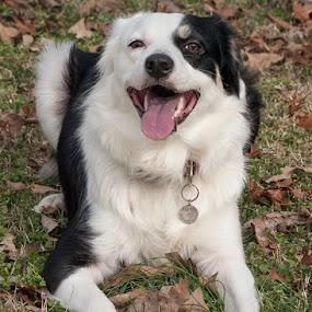 Mine by Christy Borders - Animals - Dogs Portraits ( playing, outdoors, australian shepherd, dog )