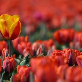 by Bencik Juraj - Flowers Flower Gardens ( tulip garden, tulips )