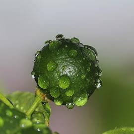 Lime by Paramasivam Tharumalingam - Nature Up Close Gardens & Produce