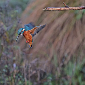 Kingfisher by Matteo Chinellato - Animals Birds ( bird, kingfisher )