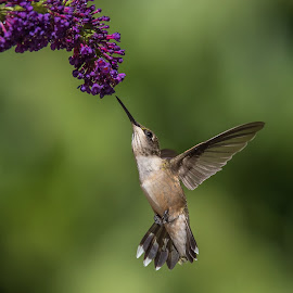Bottom Side ii by Roy Walter - Animals Birds ( animals, hummingbird, wildlife, garden, birds )