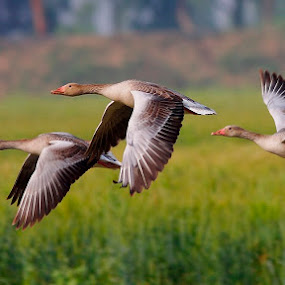 The Greylag Goose by Zahoor Salmi - Animals Birds ( animals, nature, zahoorsami, wildlife, birds )