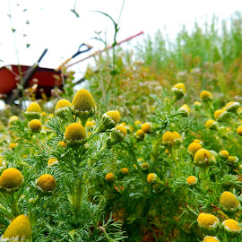 Chamomile ~My driveway in the spring by Ilene Kalus - Nature Up Close Other plants ( oregon, wheelbarrow, driveway, chamomile, springtime )