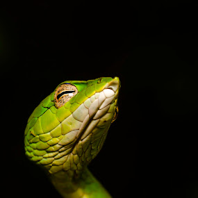 The Green Fairy..! by Srikanth Iyengar - Animals Reptiles ( reptiles, srikanth, agumbe, iyengar, rainforest )