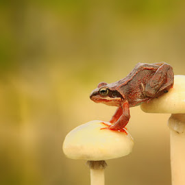 Mushroom stairs by Marius Aunvik - Animals Amphibians ( mushroom, nature, frog, close up )