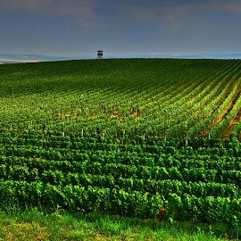 Vineyard by Marie Vachulková - Uncategorized All Uncategorized
