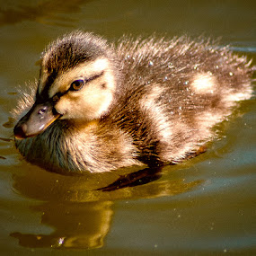 Little Duck Swimming by Ray Ebersole - Animals Other ( water, duck, wildlife )