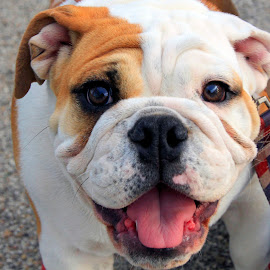 Mr. Bulldog by Jackie Eatinger - Animals - Dogs Portraits (  )
