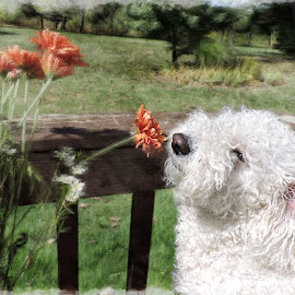 Curiuos by Melissa Davis - Animals - Dogs Puppies ( smelling flowers, bichon frise, backyard, dog, flowers )
