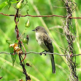 Trout Brook Phoebe by Erika  Kiley - Novices Only Wildlife ( bird, fence, vines, summer, perch, eastern phoebe )