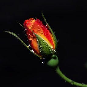 Alone in the dark by Priyank Jha - Nature Up Close Flowers - 2011-2013 ( rose, priyank jha photography, nikon d5100, nature, low key, india )