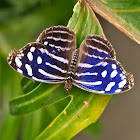 Mexican Bluewing or Blue Wing