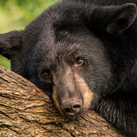 ho Humm  by Ernie Page - Animals Other Mammals ( bear, blackbear, nature, wildlife, animal )