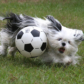 VOLLEY WALLY! by Debby  Raskin - Animals - Dogs Portraits ( canine, ball, retrieve, play, action, volley, dog, soccer, animal )