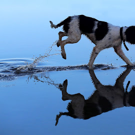 The waters edge by Gareth Evans - Animals - Dogs Playing ( water, reflection, dogs, blue, spaniel )