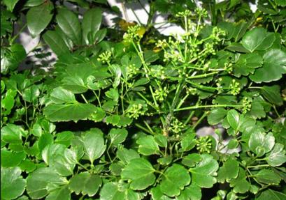 Cây đinh lăng có mấy loại và cách phân loại cây đinh lăng