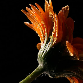 After the rain... by Joseph Quartson - Nature Up Close Flowers - 2011-2013 ( drops, stem, yellow, gerbera, flower )