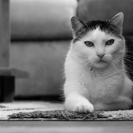 Mourek by Radim Danko - Animals - Cats Portraits ( canon, home, cat, relax, mourek, kocka,  )