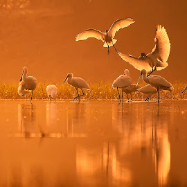 Ibis & Spoonbill by Ankur Mistry - Animals Birds ( canon, wild, sanctuary, wildlife, morning, birds, canon eos, spoonbill, photography, bird, winter, ibis, gold, golden, golden hour )