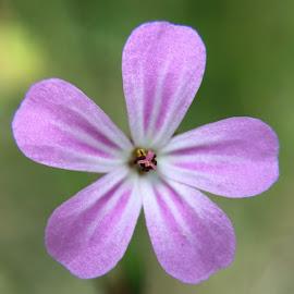 Lonely Flower by Alan (Mop) Lewis - Instagram & Mobile iPhone ( macro olloclip macroprolens iphone iphone6splus olloclipstudio studio flower purple close )
