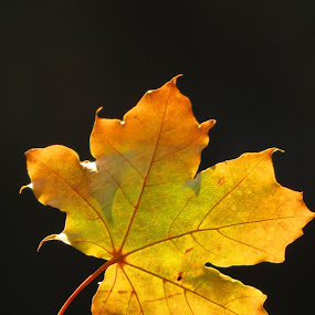 Maple leaves by Pamela Zeng - Nature Up Close Leaves & Grasses