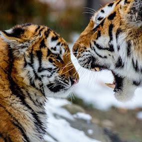 Life Lessons by Nigel Bullers - Animals Lions, Tigers & Big Cats ( lesson, cat, tiger, big, cub )