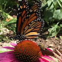 Monarch Butterfly (2)