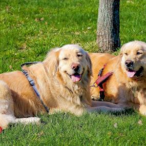 Twins by Cheryl Thomas - Animals - Dogs Portraits ( resting, dogs, grass, buddies, golden retriever,  )