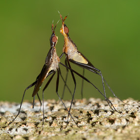 Let's Dance by Sharulfizam Adam - Animals Insects & Spiders ( macro, animals, insects, dance, closed up )