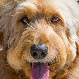 Golden Doodle by Dave Lipchen - Animals - Dogs Portraits ( golden doodle )