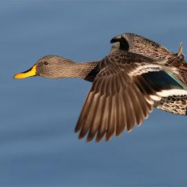 Yellow billed duck in flight by Johann Harmse - Animals Birds ( in flight, nature, duck, birds, ducks )