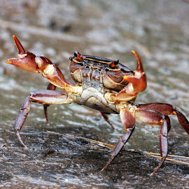 Crab alert by Susan Botha - Novices Only Wildlife
