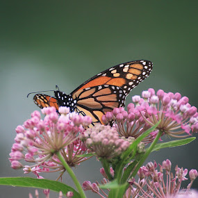 by Clare Suhanich - Animals Insects & Spiders ( butterfly, nature, milkweed, summer, monach )