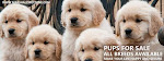 Pups For Sale:Genuine Breeds @ Best Price,Online + Door Delivery: Shih tzu, GSD,Lab & More