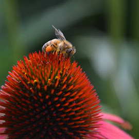 Busy Bee by Kinne Bassett - Nature Up Close Gardens & Produce