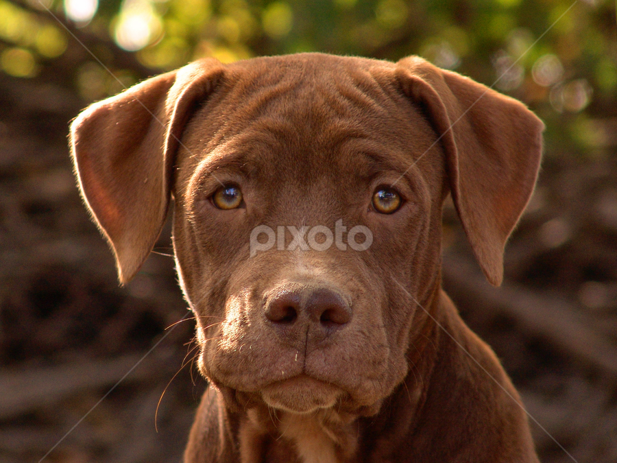 Cupcake by Kalil  James - Animals - Dogs Portraits ( puppies, dogs, pets )