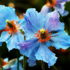 The Springtime Blues by Kenneth Cox - Flowers Single Flower ( spring flowers, flowers, longwood gardens, springtime, blue,  )