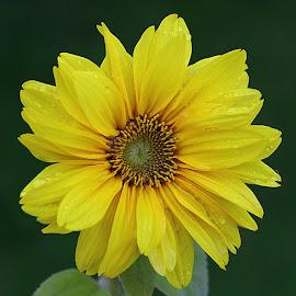 After the Rain by Chrissie Barrow - Flowers Single Flower ( water, dwarf, stigma, single, stamens, petals, green, drops, sunflower, yellow, garden, rain, flower )