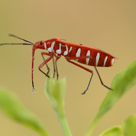 Red Beetle by Bankim Desai - Animals Insects & Spiders ( macro, micro, nature, beetle )